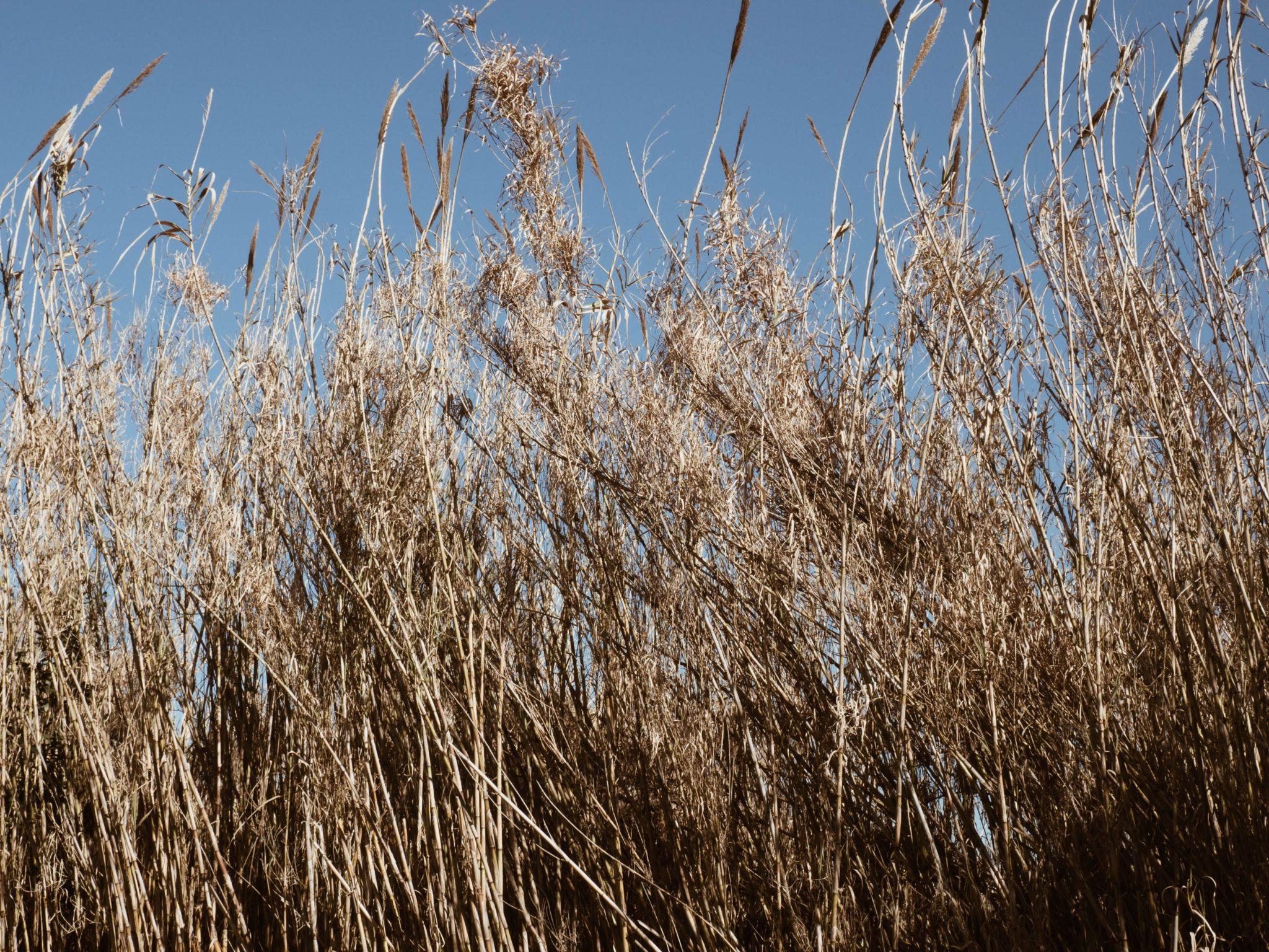 Tall wheat field close up